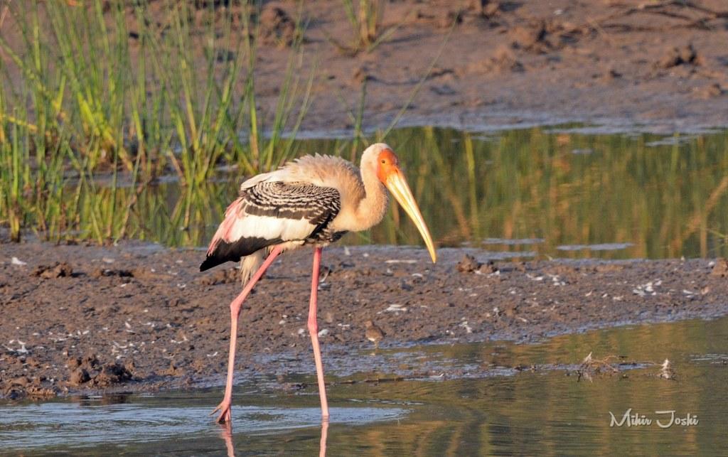Painted Stork [Tántalo Indio]