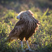 Crested Caracara near carcass by karenmelody