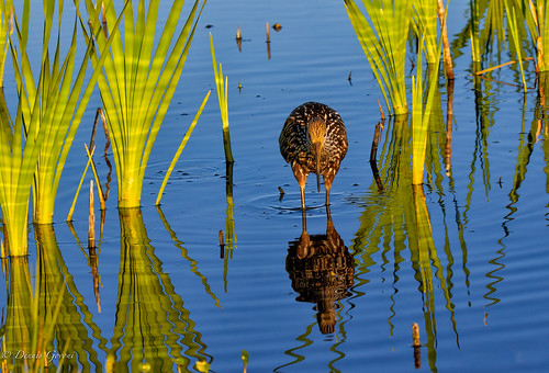 limpkin bird florida landscape reflection vierawetlands water wildlife