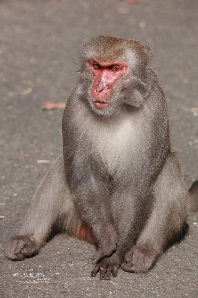 台灣獼猴 (18)