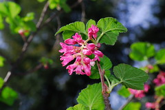 Ribes sanguineum - red-flowered currant