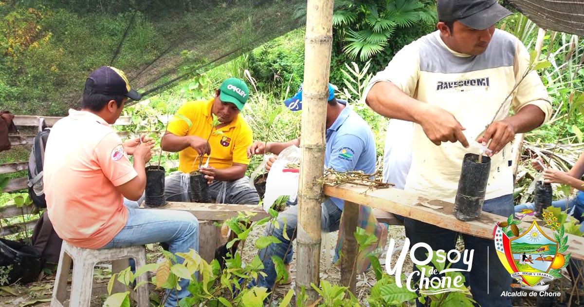 Mil plantas de cacao fueron injertadas por alcaldía de Chone