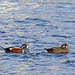 Harlequin Ducks (Dani Free)