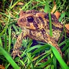 """The toad the kids were poking at before has now made two more appearances and has stopped being """"the yard toad"""" and is now """"our toad"""". #toad #toadystark #yardtoad #ourtoad #myyard #inmyyard #backyard #amphibians #reptiles #nashvilleil #washingtoncountyil"""