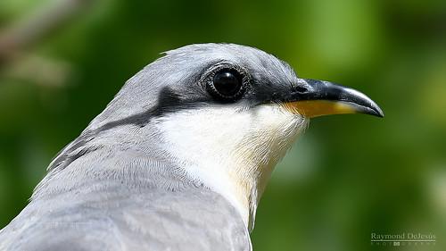 Pájaro Bobo Menor