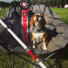 PDCH DYLAN!! He needed 2 Jumpers Qs and he got one last night and his first run this morning!! So proud of my littlest beagle! He is now ADCH *PDCH* C-ATCH ARCHEX Auburn's Master of the Hunt CD, RAE, RL3X, RL2X2, RL1X, MX, MXB, MXJ, XF, T2B2, TM-S, SCH, P