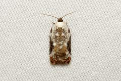Acleris nivisellana (Snowy-shouldered Acleris Moth) - Hodges # 3510