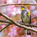 """""""A Butterbutt in a Cherry Tree"""" The Yellow-Rumped Warbler by Cathy Lorraine"""