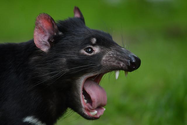 Tasmanischer Teufel, Nikon D500, AF-S Nikkor 300mm f/4E PF ED VR