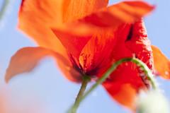 Poppy underside | Eastbourne to Seaford 2013 - 53