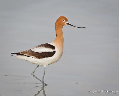 birds ngc saskatchewan prairies waders americanavocet shorebirds recurvirostraamericana recurvirostridae amav chaplinlake