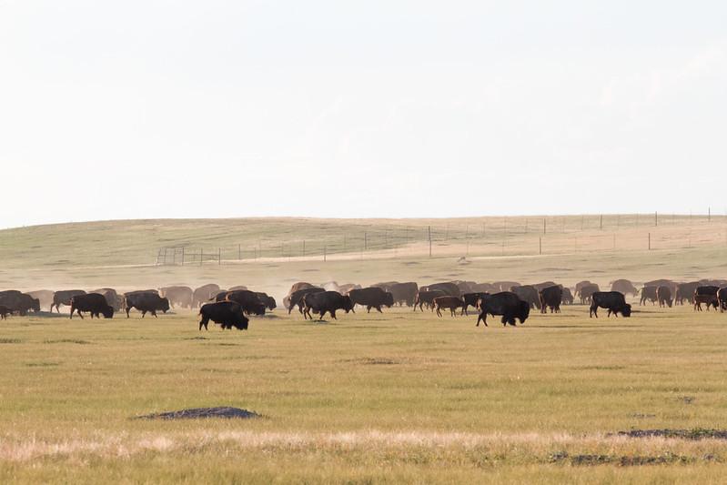 Bison in Badlands