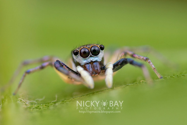 Jumping Spider (Salticidae) - DSC_2750