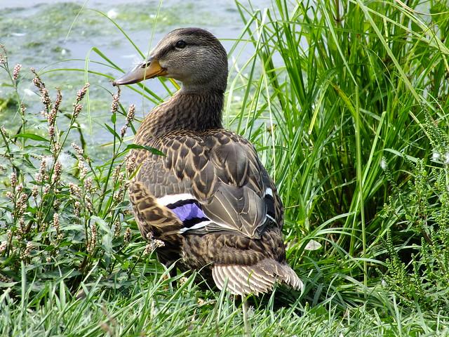 Male rouen duck