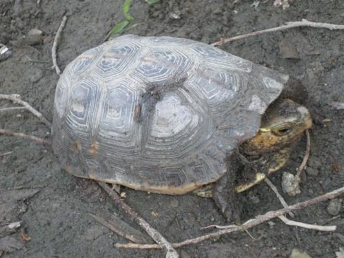 台灣的食蛇龜也難逃盜捕命運。林務局提供。