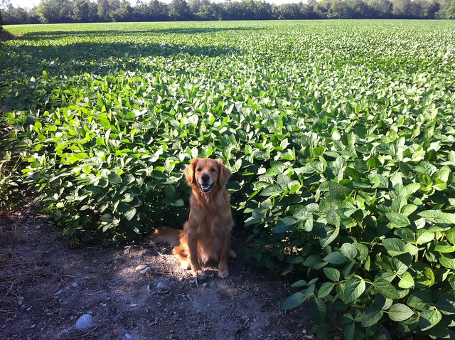 golden retriever soy bean field