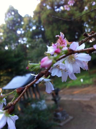 日吉神社桜