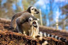 animal, mammal, fauna, lemur, wildlife,