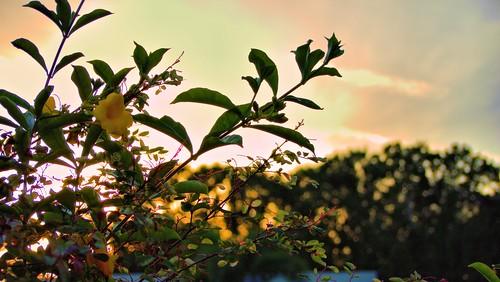 flowers sunset dof depthoffield hdr gf1 3xp fav5 views100 hdrphotography 45200mm