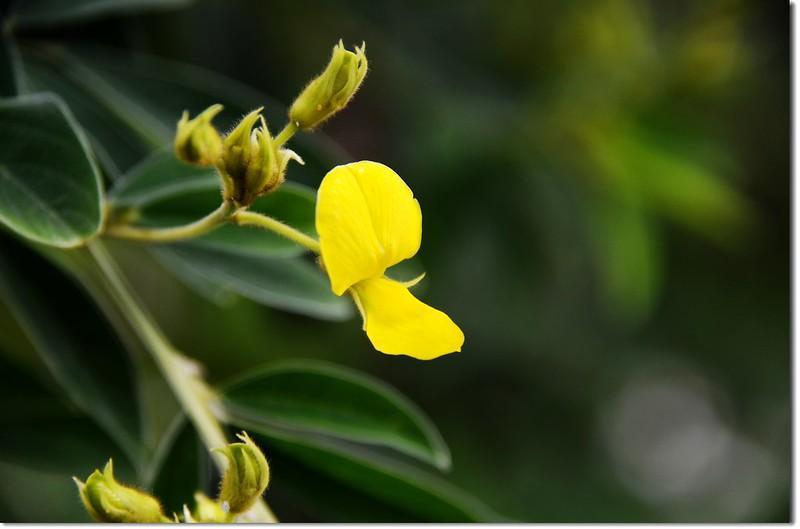樹豆(花)