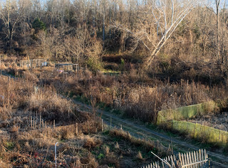 Garden Allotments & Sycamore