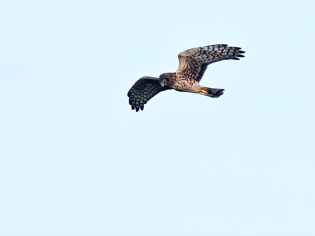 Northern Harrier 6-20131210