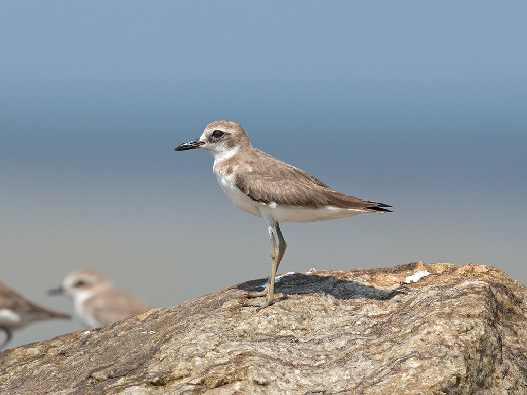 Greater Sand Plover  Sri Lanka
