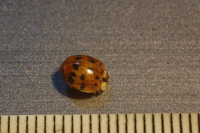 Dead ladybird next to ruler (5mm long)