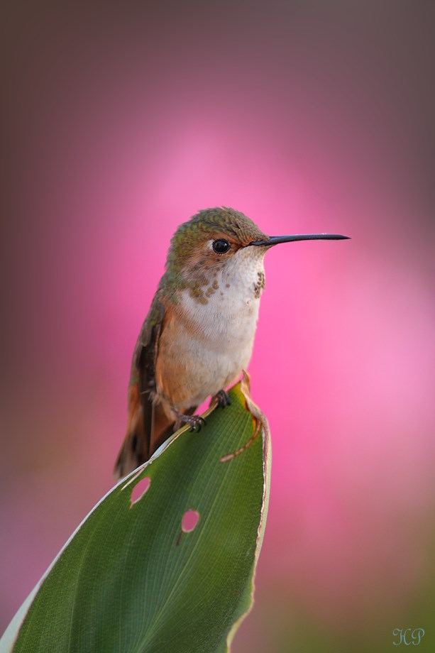 Allen's Hummingbird 032114