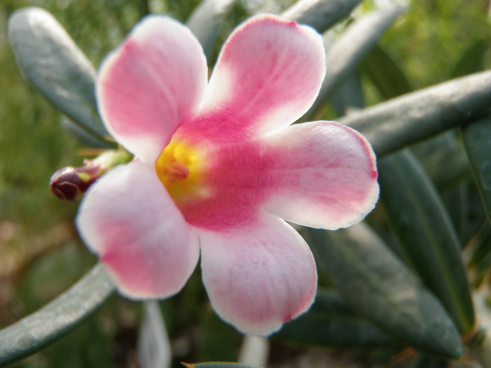 Pachypodium bispinosum-GK Exotics