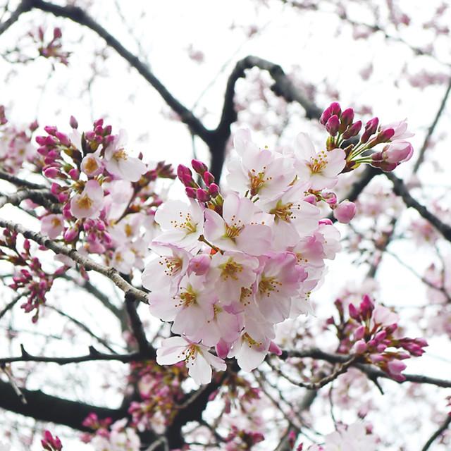 Hanami @ Ueno Park 上野公園•花見