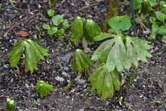 annual plant, shrub, leaf, soil, podophyllum peltatum, plant, herb, flora, green,