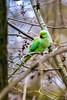Kleiner Alexandersittich - ring-necked parakeet ( Psittacula krameri ) Wildlife