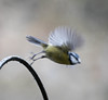 Blue Tit Leaping