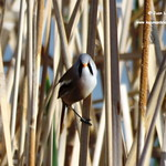 Aves en las lagunas de La Guardia (Toledo) 13-4-2017
