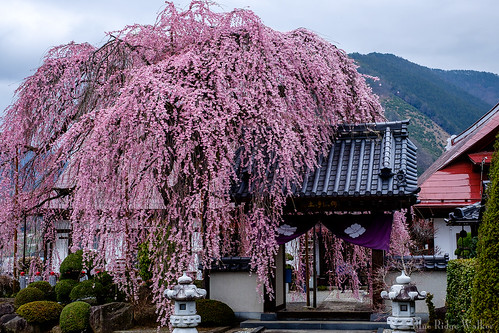 The weeping cherry tree at Syurinji temple