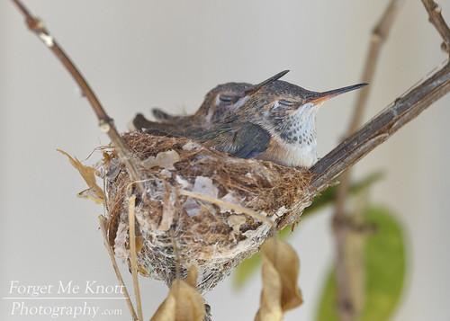 sleeping nesting nest hummingbirdnest bird hummingbird annashummingbird california spring wildlife chicks baby juvenile fledgling