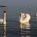 Swan - Maiden