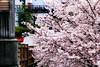 Shoot Sakura