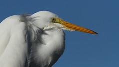 Great Egret, Pithlachascotee Shrimp Docks