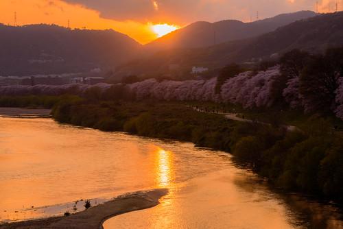 japan kyoto 背割堤 淀川 川 river 桜 cherry 夕景 sunset 八幡市 京都府