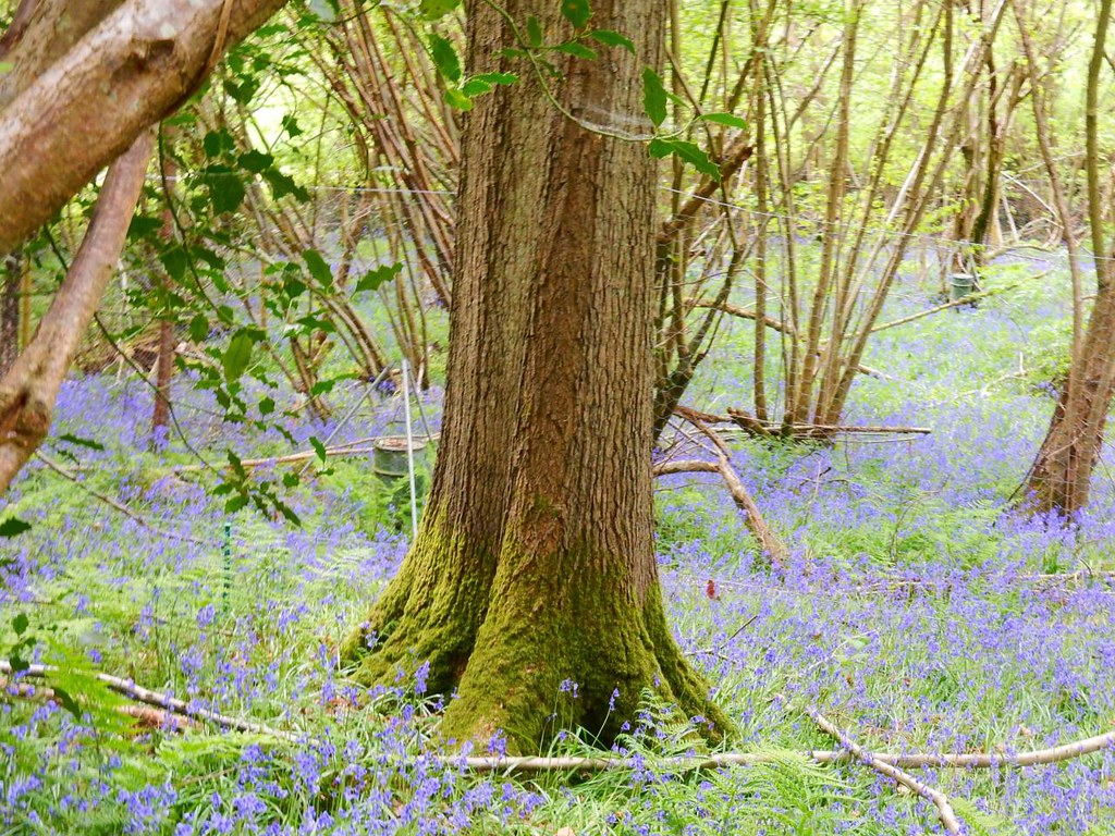 bluebells with tree Hever to Ashurst