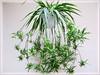 Chlorophytum comosum 'Variegatum' (White Spider, White-edged Spider Plant, Variegated Spider Ivy, Airplane/Ribbon Plant, Hen-and-chickens)