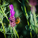 Honey Bees on Lavender-8.jpg