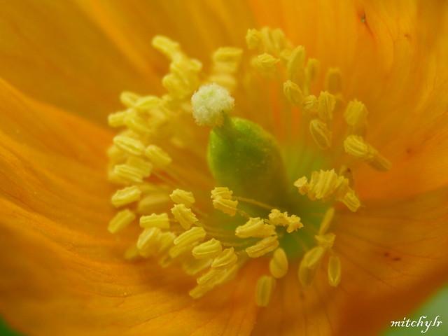 Orange Poppy Heart