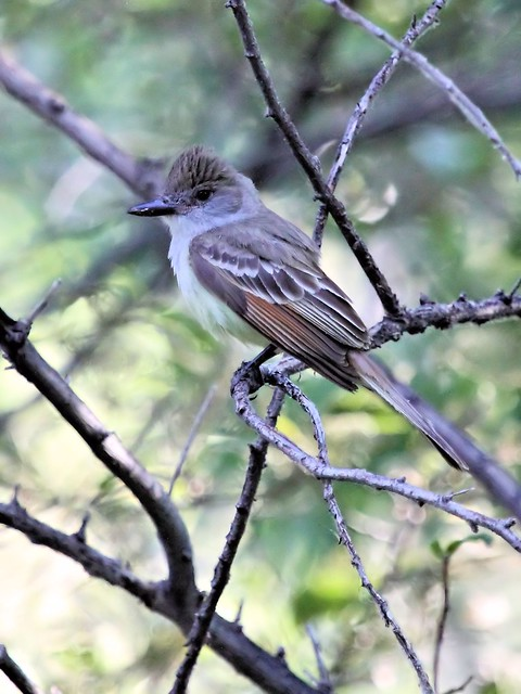Ash-throated Flycatcher 20130617
