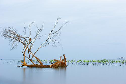 treelonelytree flickrandroidapp:filter=none mangrovewaterwaterplantsmindanao