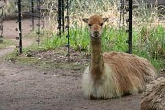 alpaca(0.0), emu(0.0), llama(0.0), flightless bird(0.0), ratite(0.0), animal(1.0), zoo(1.0), fauna(1.0), camel-like mammal(1.0), wildlife(1.0),