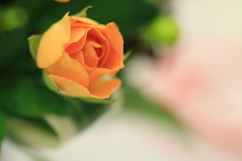 orange rose Canon EOS 70D