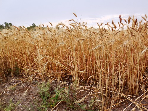 Field impacted by sawfly